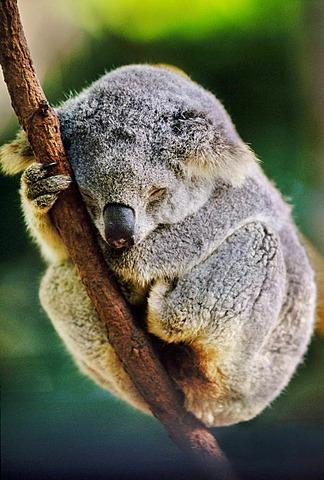Koala sleeping, Phascolarctos cinereus, Sydney, Australia