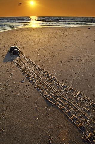 Horeshoe crab returning to sea, Limulus polyphemus, Delaware Bay, New Jersey, Delaware Bay, New Jersey, USA