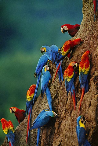 Scarlet macaws, Ara chloroptera, and blue-and-yellow macaw, Ara ararauna, at clay lick, Tambopata National Reserve, Peru
