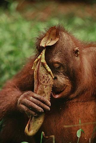 Bornean orangutan, Pongo pygmaeus, drinking from pitcher plant, Nepenthes sp, Sabah, Borneo