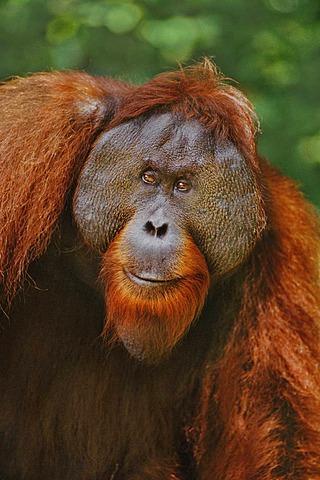 Male bornean orangutan, Pongo pygmaeus, Sepilok Reserve, Sabah, Borneo