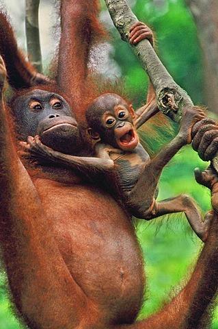 Bornean orangutan with infant, Pongo pygmaeus, Sepilok Reserve, Sabah, Borneo