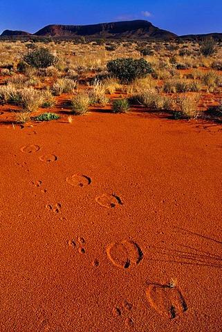 Non-native rabbit and camel tracks, Central Desert, Australia