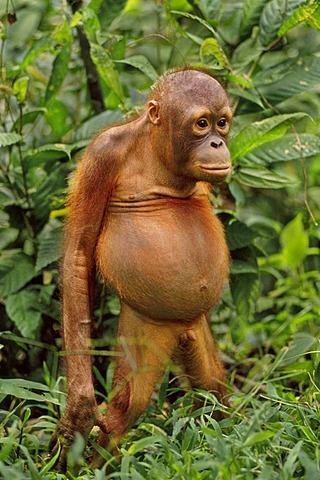 Bornean orangutan juvenile, Pongo pygmaeus, Sepilok Reserve, Sabah, Borneo