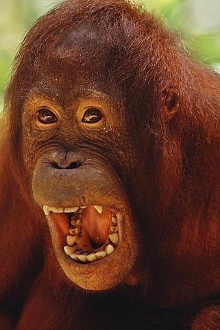 Bornean orangutan screaming, Pongo pygmaeus, Sepilok Reserve, Sabah, Borneo
