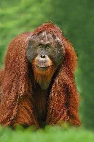 Bornean orangutan male, Pongo pygmaeus, Sepilok Reserve, Sabah, Borneo