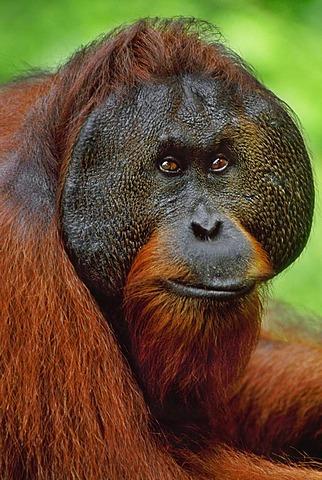 Bornean orangutan, Pongo pygmaeus, Sepilok Reserve, Sabah, Borneo