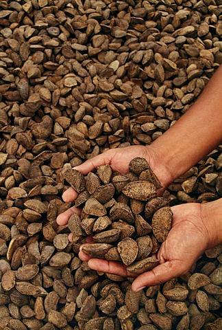 Brazil nut harvest, near Purto, Moldanado, Peru