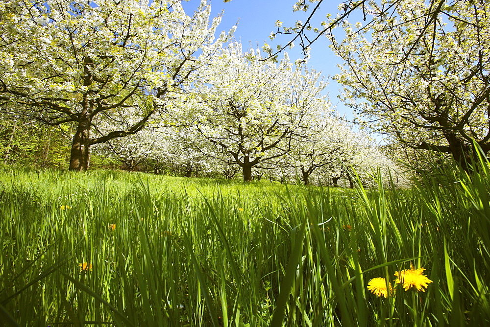 Flowering fruit trees (Pretzfeld Oberfranken, Germany)