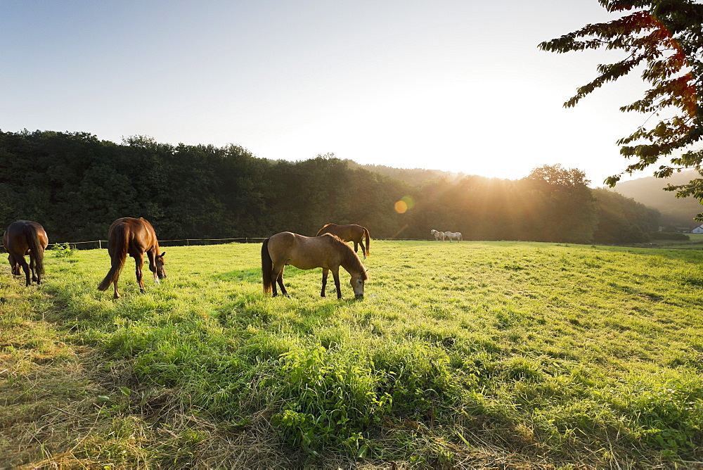 Horses in a meadow on the Wehrendorf mountain road near Bad Essen