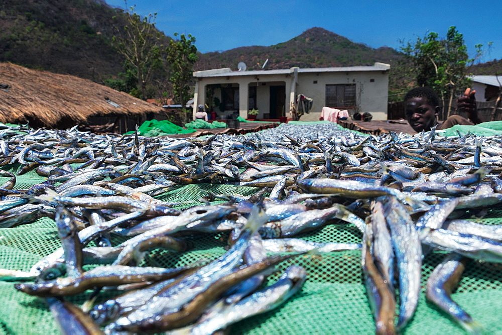 Freshly caught sardines from Lake Malawi (East Africa)