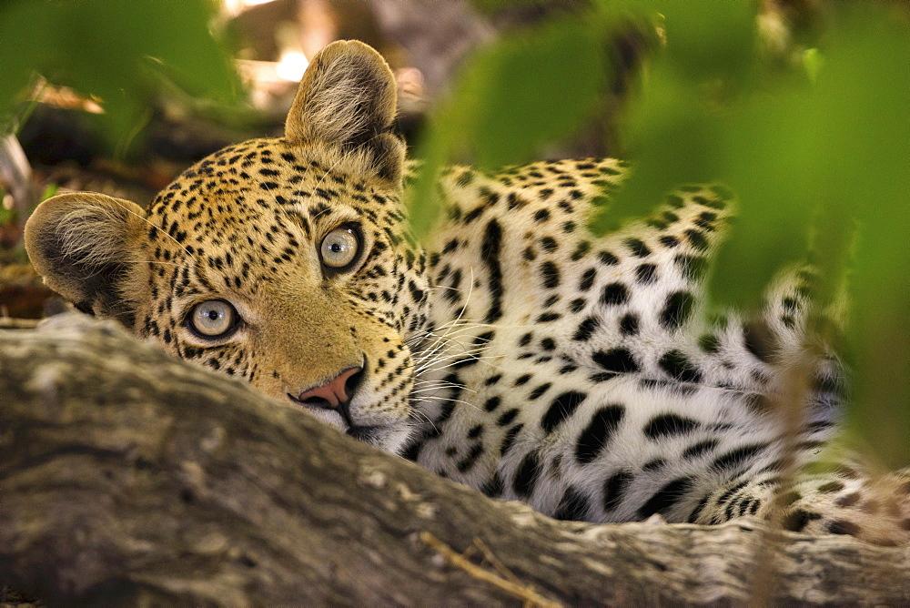 A leopard in the wild, Okavango Delta, Botswana - 1175-1380