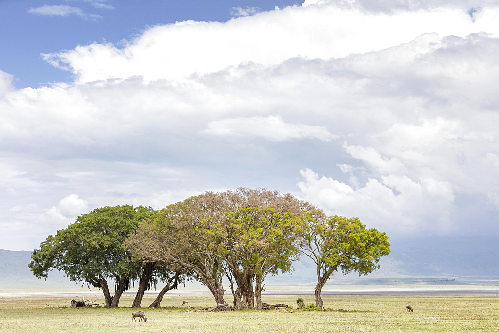 Trees in the Ngorongoro crater in the Serengeti, Tanzania, Africa