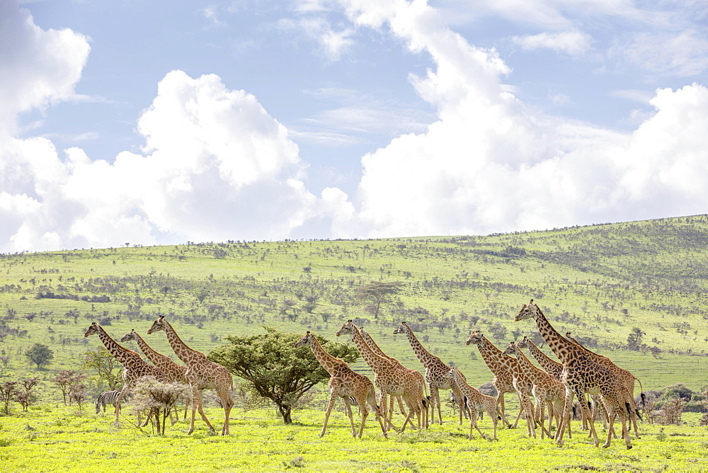 Giraffes in the Ngorongoro crater in the Serengeti, Tanzania, Africa