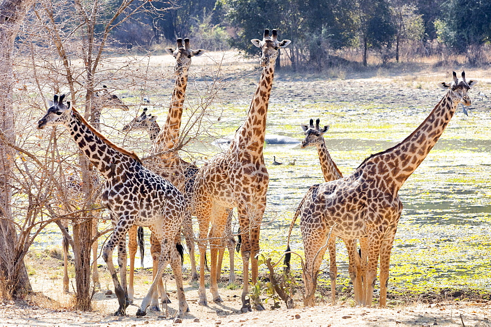 Giraffes in the wild, Zambia, Africa