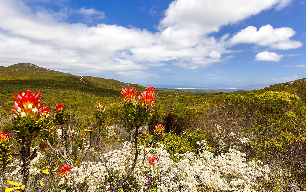 Flowering protea in the Grootbos Nature Reserve (South Africa) - 1175-1395