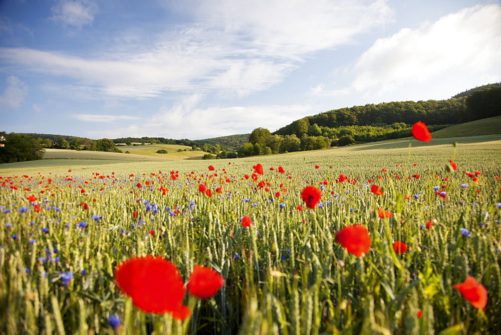 View of Sweet Corn Poppy meadow in Hesse, Germany