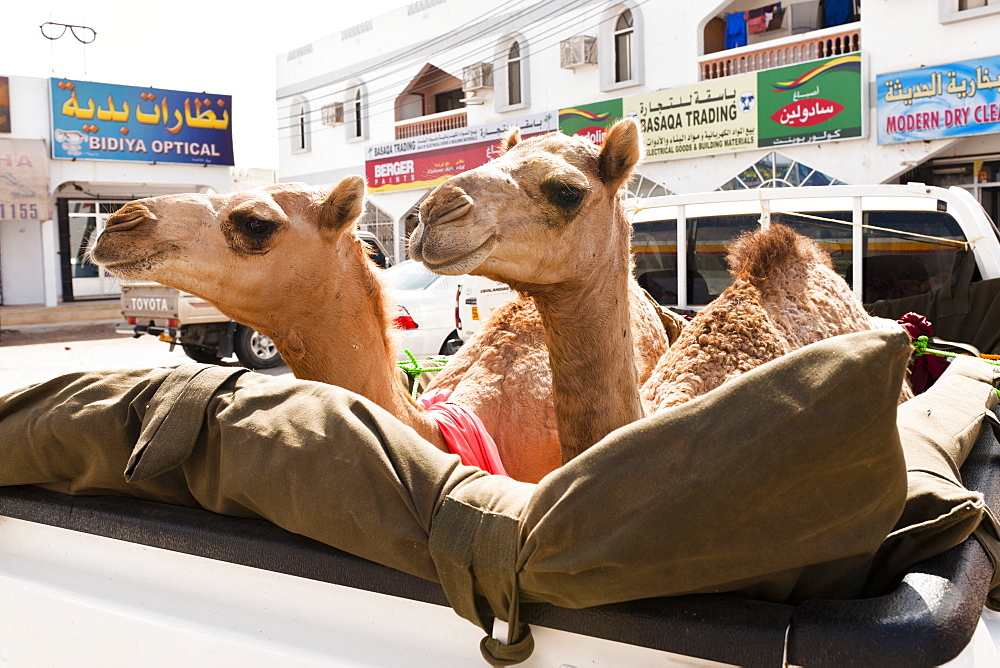 Camels on pickup truck in Wahiba Sands, Oman