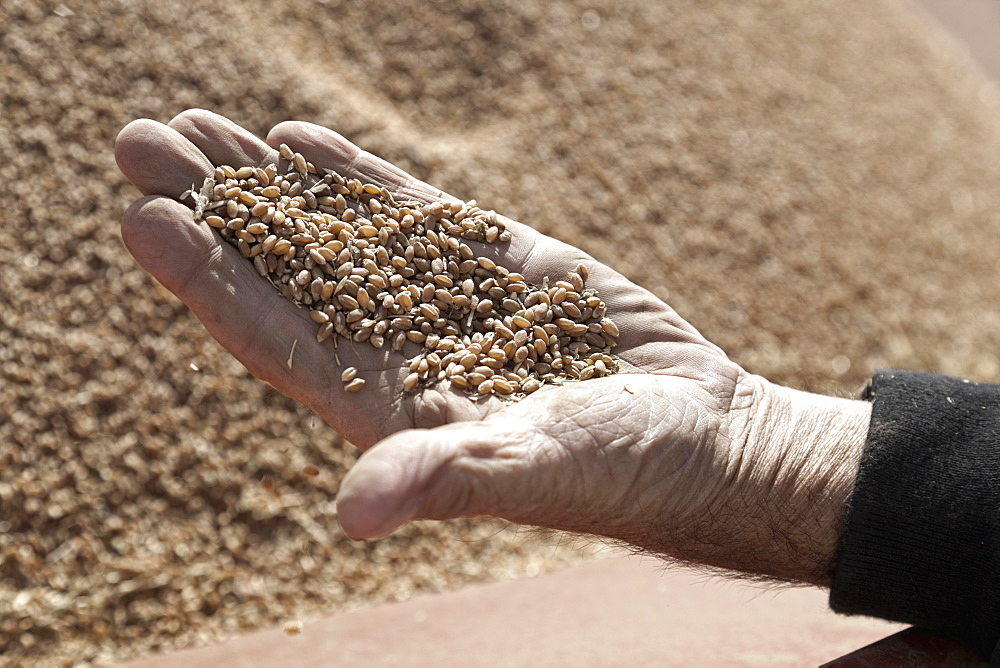 Close-up of man's hand holding wheat grains, Saskatchewan, Canada