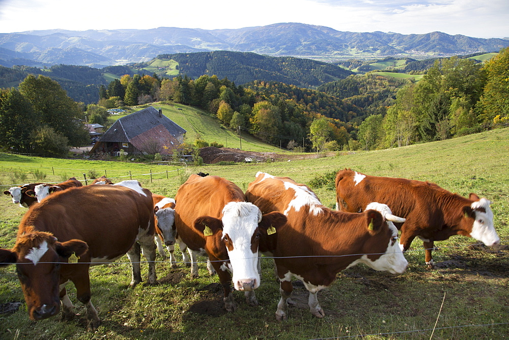 Cows in pasture in St Peter, Freiburg, Germany