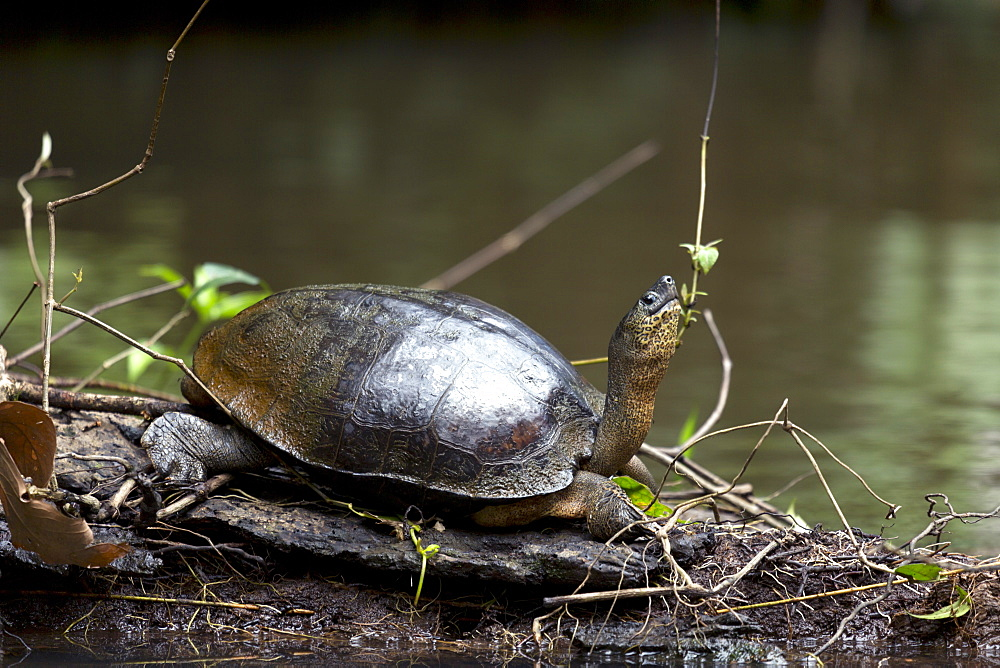 Black river turtle (Rhinoclemmys funerea), Limon, Costa Rica, Central America