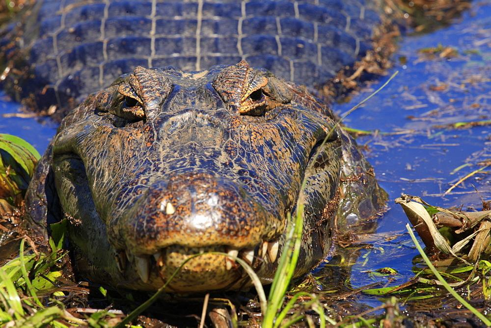A Pantanal (yacare) caiman (Caiman yacare), Mato Grosso do Sul, Brazil, South America