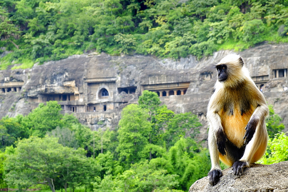 Grey langur monkey (Hanuman Langur) (Semnopithecus sp.) outside the Ajanta Caves, UNESCO World Heritage Site, Maharashtra, India, Asia