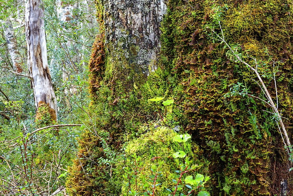 Moss and lichen covered bark in Patagonian Nothofagus beech forest, Alberto de Agostini National Park, Tierra del Fuego