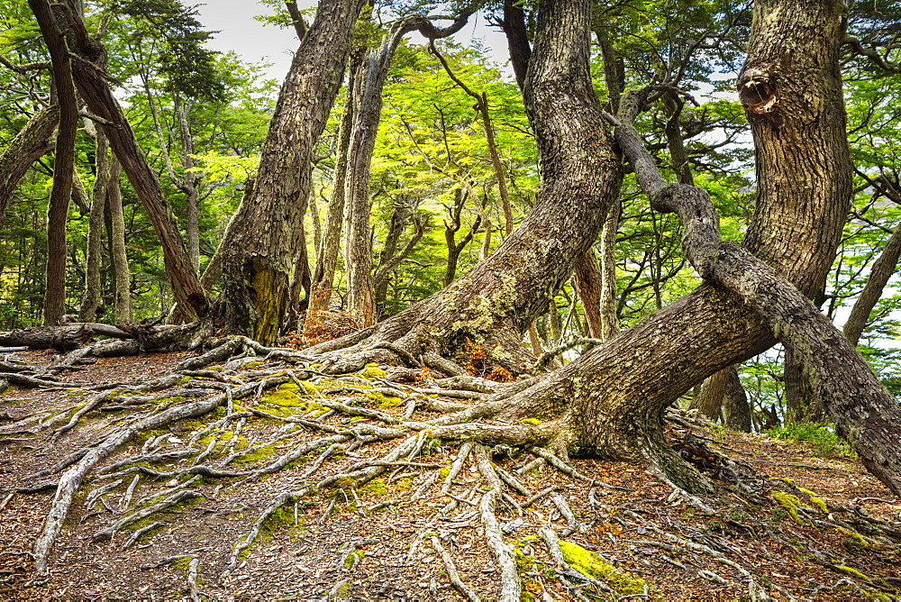 Southern beeches (Nothofagus) in Andean-Patagonian (Subantarctic forest) in Tierra del Fuego National Park, Argentina, South America