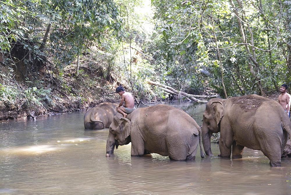 Rescued elephants, Elephant Sanctuary, Mondulkiri, Cambodia, Indochina, Southeast Asia, Asia