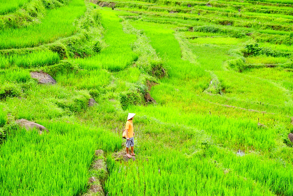 Farmer wearing a conical hat in rice paddy terraces, Mai Chau, Hoa Binh, Vietnam, Indochina, Southeast Asia, Asia - 1176-840