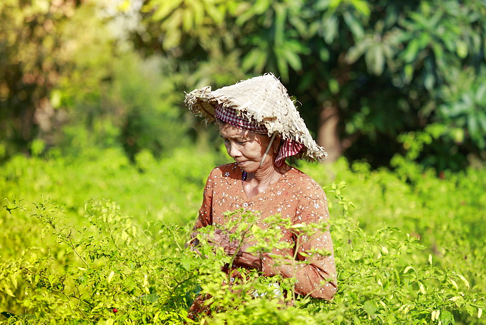Woman in a conical hat harvesting chilli peppers in a field in rural Kampot, Cambodia, Indochina, Southeast Asia, Asia - 1176-931