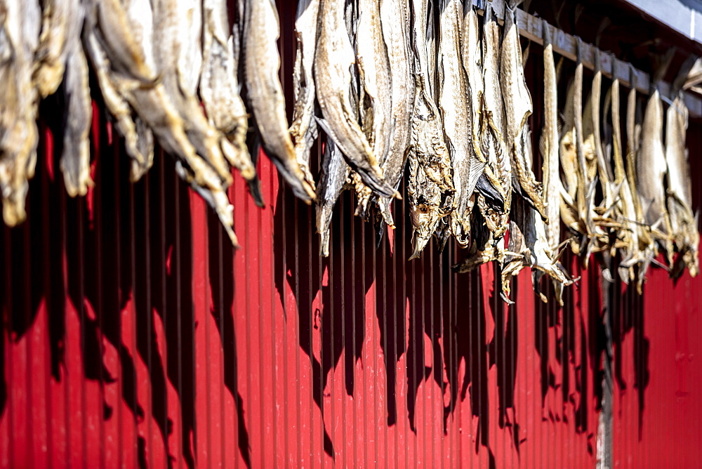 Dried stockfish is the main typical Norwegian product, Hamnoy, Moskenes, Nordland, Lofoten Islands, Arctic, Northern Norway, Scandinavia, Europe