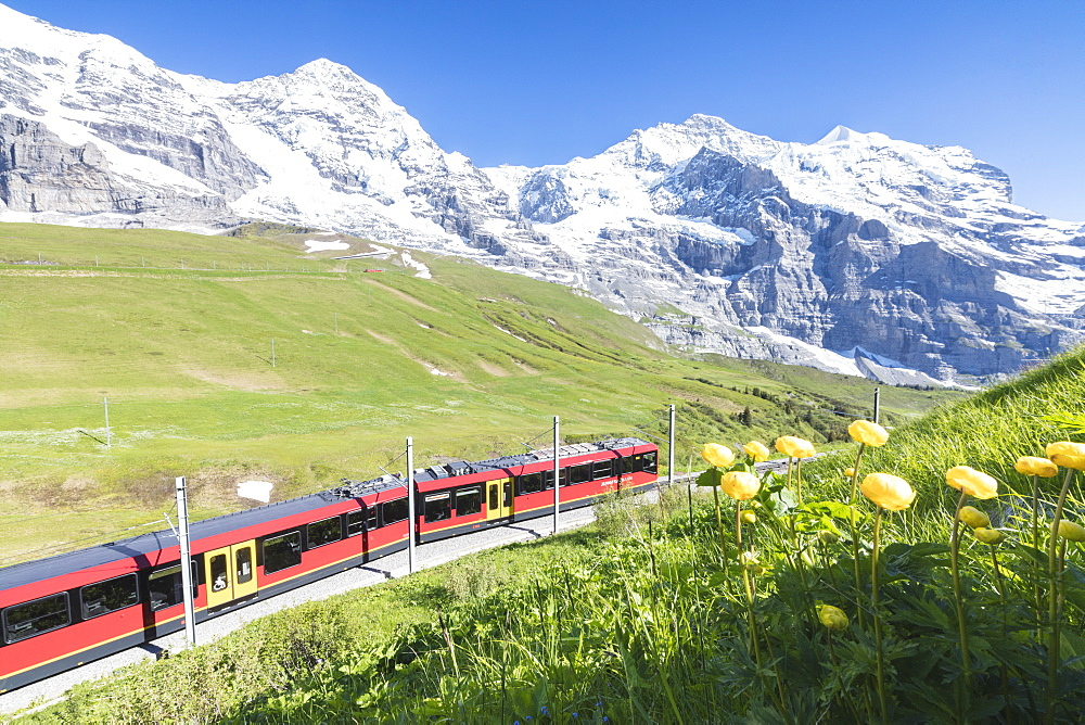 The Wengernalpbahn rack railway framed by flowers and snowy peaks, Wengen, Bernese Oberland, Canton of Bern, Switzerland, Europe