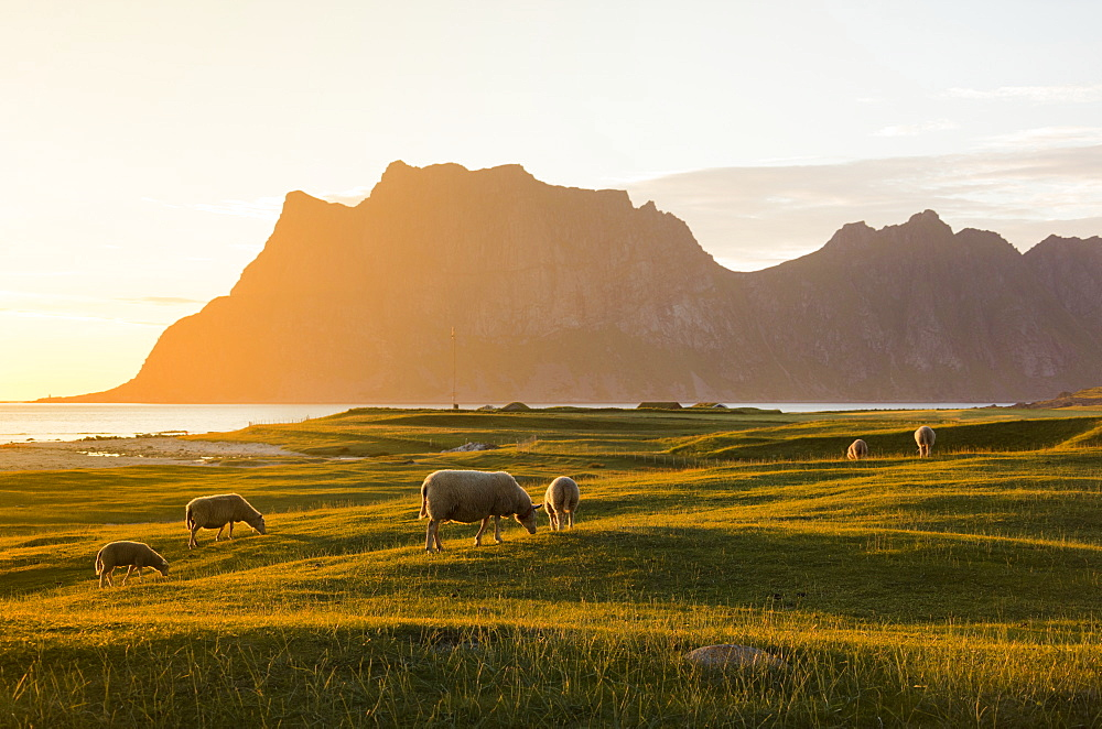 Sheep grazing in the green meadows lit by midnight sun reflected in sea, Uttakleiv, Lofoten Islands, Northern Norway, Scandinavia, Europe