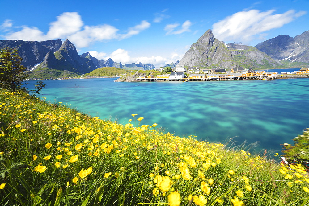 Yellow flowers in bloom beside the turquoise sea and the fishing village of Sakrisoy, Reine, Moskenesoya, Lofoten Islands, Norway, Scandinavia, Europe