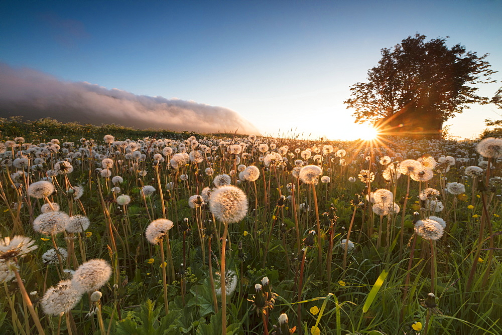 Green meadows of dandelions framed by the midnight sun, Fredvang, Moskenesoya, Nordland county, Lofoten Islands, Norway, Scandinavia, Europe