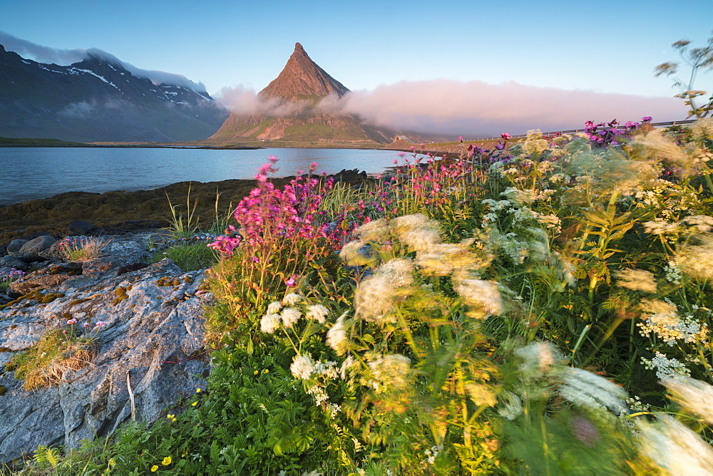 The midnight sun lights up flowers and the rocky peak of Volanstinden surrounded by sea, Fredvang, Moskenesoya Lofoten Islands, Norway, Scandinavia, Europe