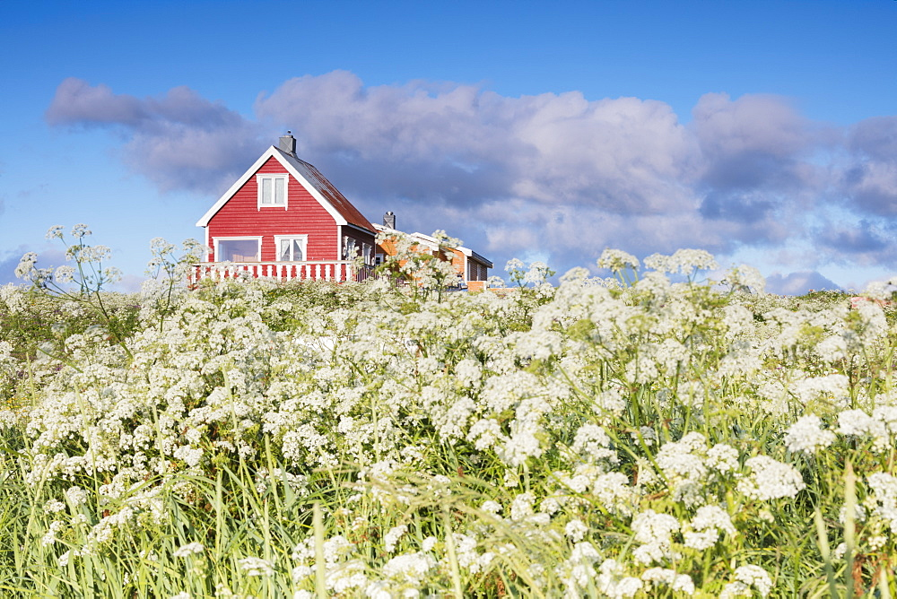 Fields of blooming flowers frame a typical wooden house of fishermen, Eggum, Unstad, Vestvagoy, Lofoten Islands, Norway, Scandinavia, Europe