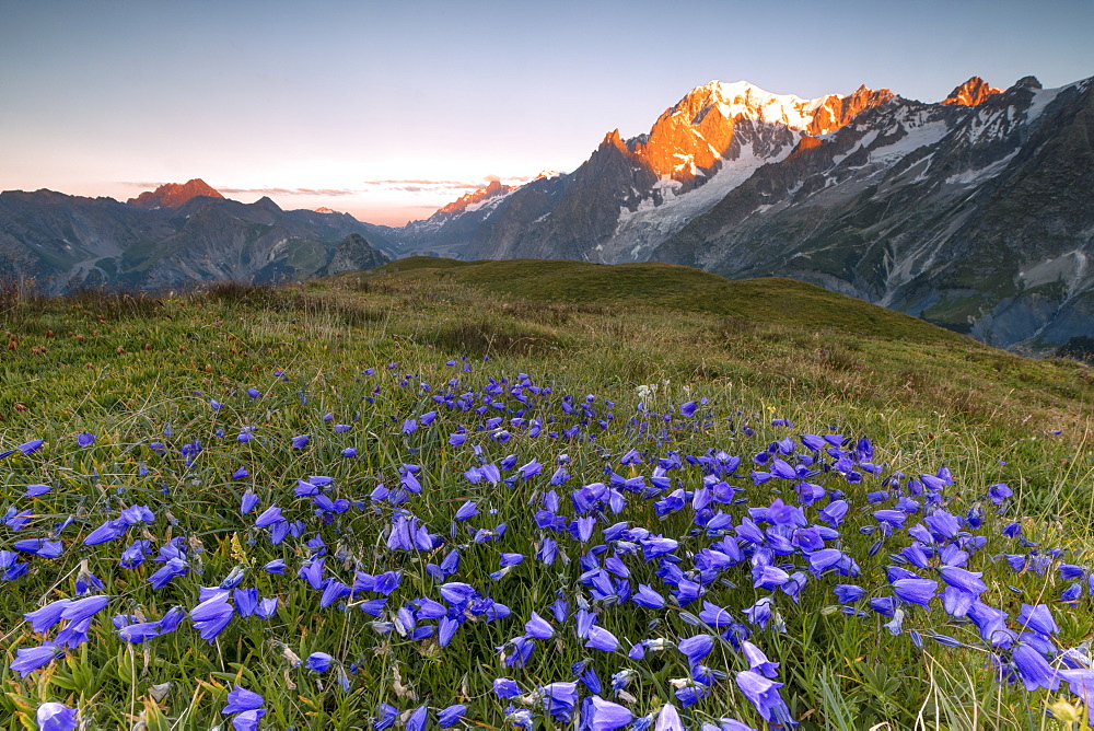 Violet flowers and green meadows frame the Mont Blanc massif at dawn, Graian Alps, Courmayeur, Aosta Valley, Italy, Europe