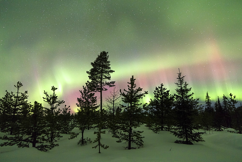 Colorful lights of the Northern Lights (Aurora Borealis) and starry sky on the snowy woods, Levi, Sirkka, Kittila, Lapland region, Finland, Europe