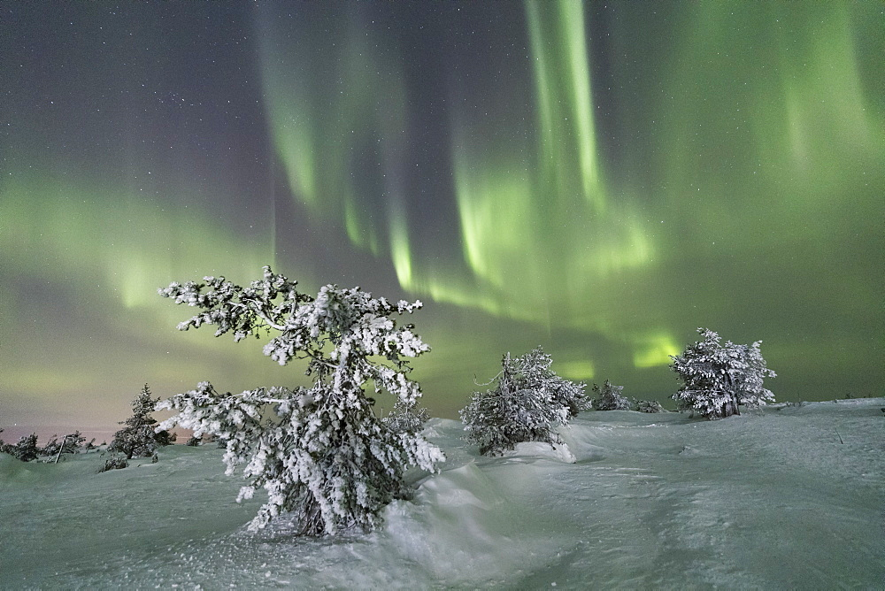 Northern Lights (Aurora Borealis) on the frozen trees in the snowy woods, Levi, Sirkka, Kittila, Lapland region, Finland, Europe