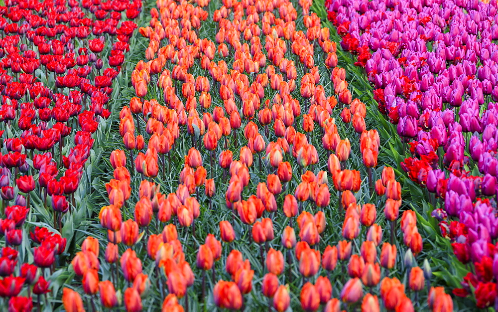 Rows of multicolored tulips in bloom in the fields of the Keukenhof Botanical Garden, Lisse, South Holland, The Netherlands, Europe