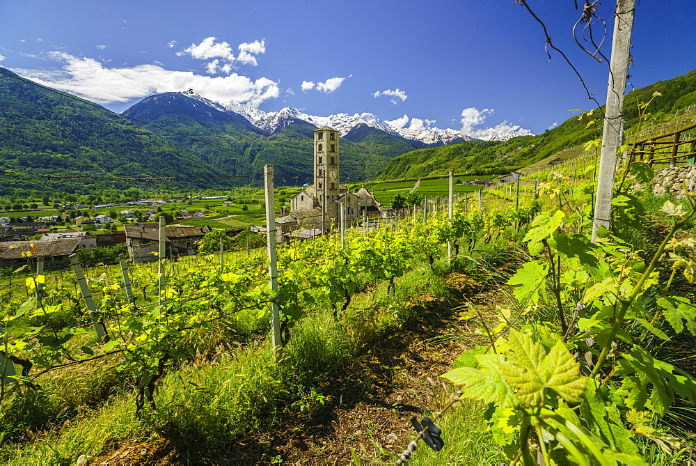 The Church of Bianzone seen from the green vineyards of Valtellina, Lombardy, Italy, Europe