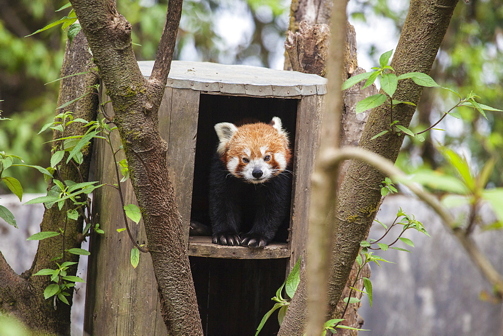 A red panda remains hidden in his shelter, built by forest guards who protect this endangered animal, Darjeeling, India, Asia - 1179-240