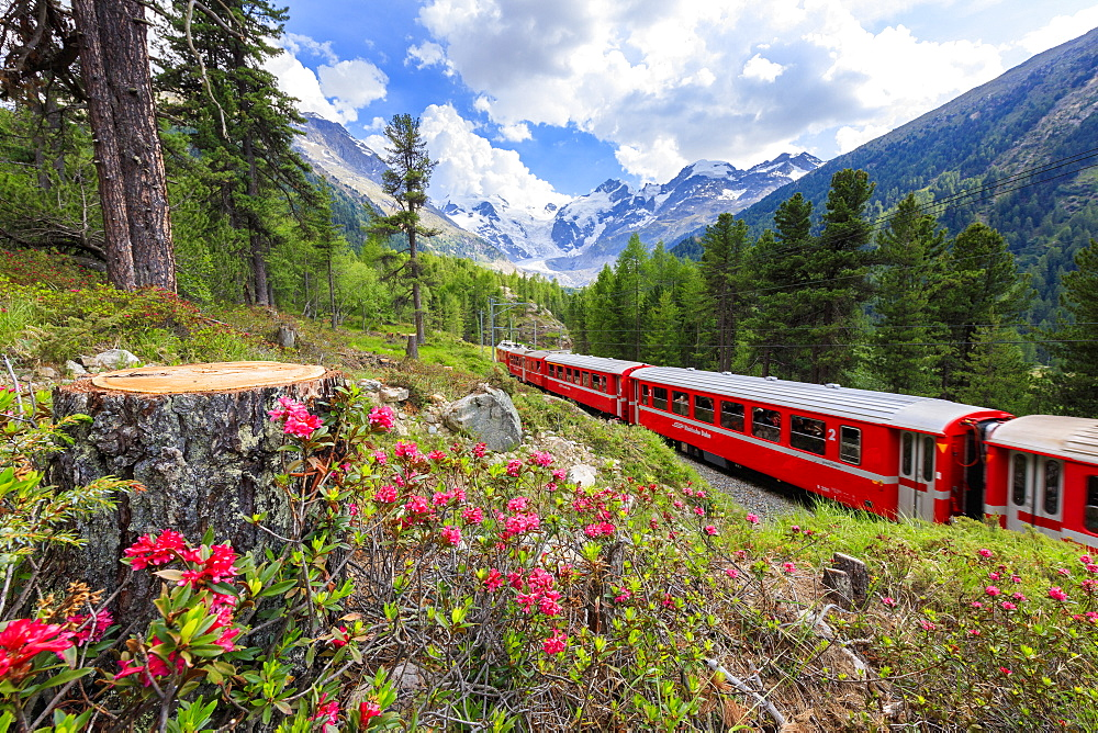 Bernina Express train surrounded by rhododendrons, Morteratsch, Engadine, Canton of Graubunden, Switzerland, Europe