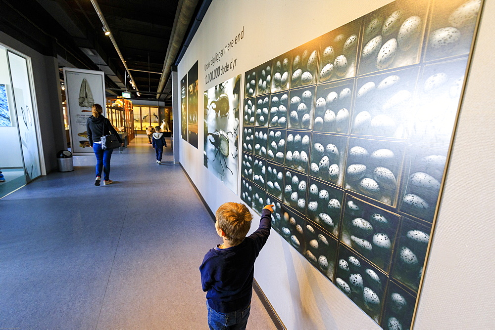 Child looks at panels on the wall, Zoological Museum, University of Copenhagen, Denmark, Europe - 1179-2453