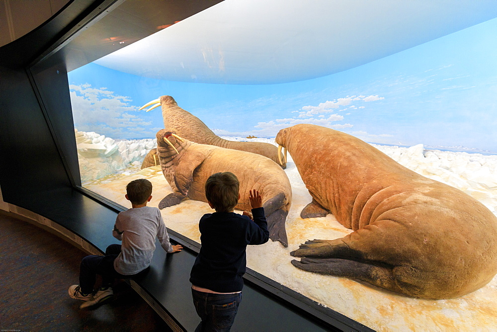 Children look the sea lions of the past from the glass window, Zoological Museum, University of Copenhagen, Denmark, Europe - 1179-2456