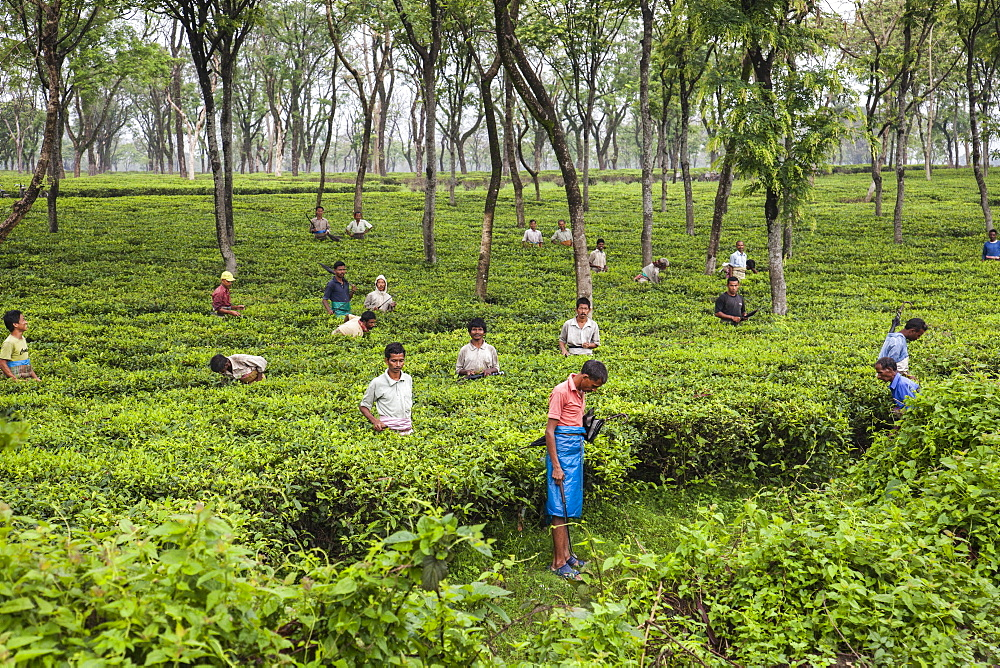 Men working in the vast tea plantations of Bagdogra in Darjeeling district where the best tea in the world is produced, Darjeeling, India, Asia