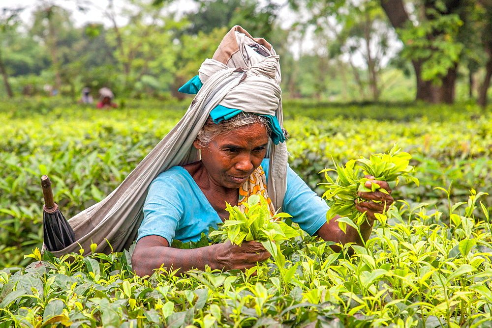 Indian woman dressed with the typical colored frock collects the green tea leaves in the plantations of Bagdogra, Darjeeling, India, Asia